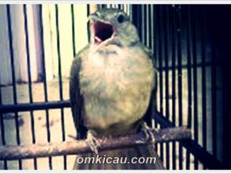 Ragam suara asli dan isian burung kapas tembak untuk masteran