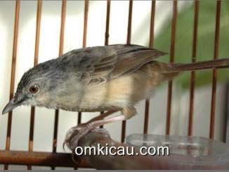 Burung ciblek gunung yang rentan alami macet bunyi