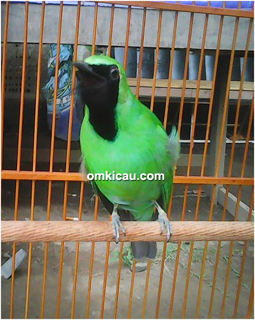 cucak hijau Garong