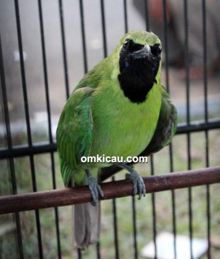 Cucak hijau Raja Kipas