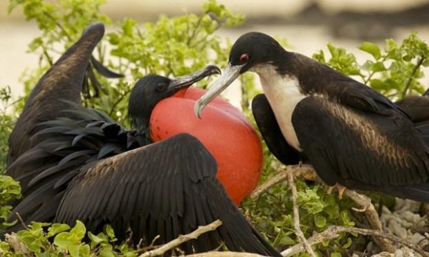 Burung cikalang jantan yang memiliki kulit tenggorokan (gular) berwarna merah yang akan dikembungkan untuk menarik perhatian betina.