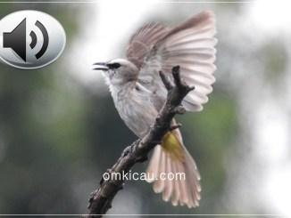 Audio ropelan variasi burung trucukan untuk masteran