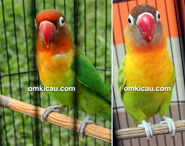 Lovebird Fretty dan Zuviter