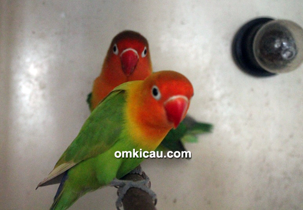 Breeding lovebird Apik Golf BF