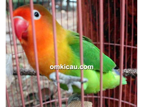 Lovebird Samyang