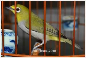 Beberapa solusi mengatasi burung pleci macet bunyi.