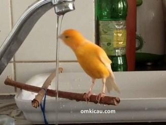 Memandikan burung secara teratur dapat membantu merawat kesehatan bulu-bulunya