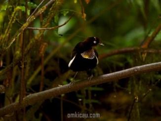 Burung parotia foja yang unik