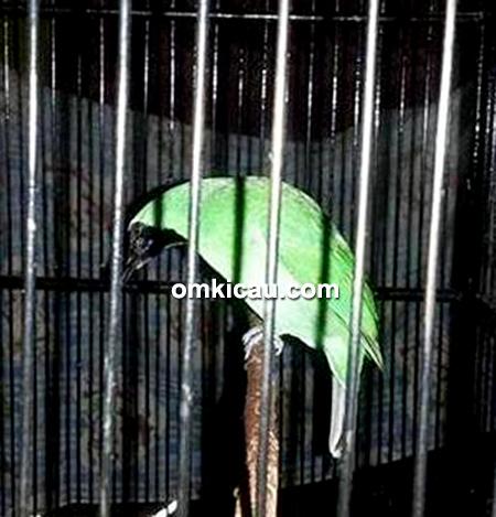 Cucak hijau Klawing