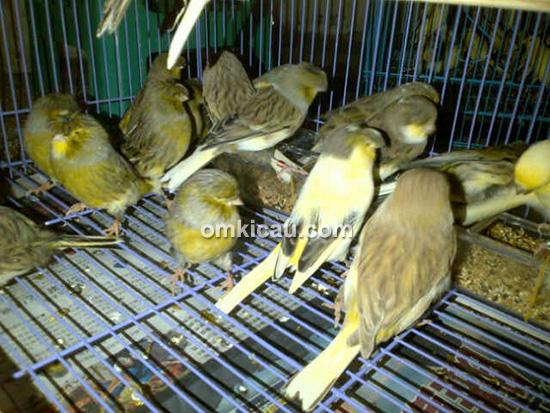 Nano Canary Jakarta