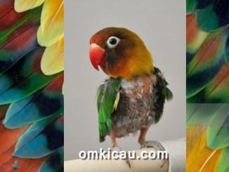 Lovebird yang selalu mencabuti bulu-bulunya sendiri
