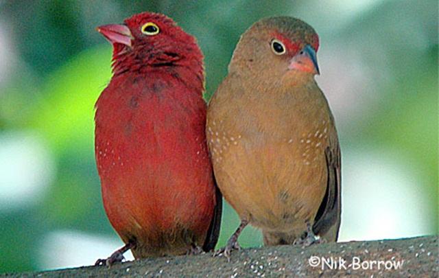 Sepasang burung senegal firefinch, burung jantan (kiri) dan betina