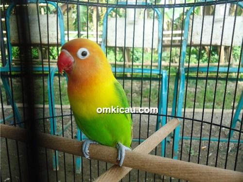 Lovebird Unyil
