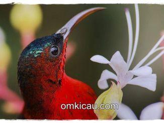 Burung-madu sepah-raja (Crimson sunbird)