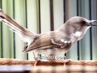 Enam poin penting dalam perawatan burung ciblek yang wajib diketahui
