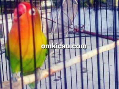 Lovebird Oneng