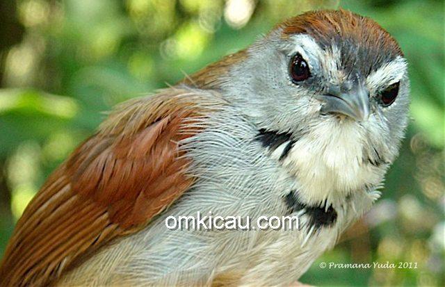 Burung tepus pipi-perak yang dilindungi | Foto: Pramana Yuda , OBI