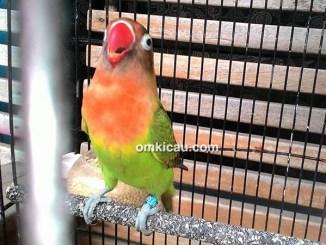 Lovebird Sik Asik