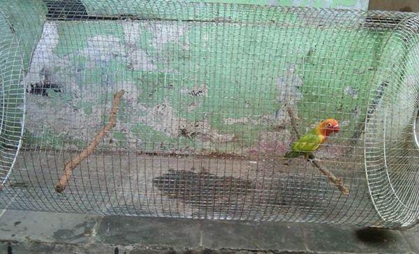 Lovebird di kandang umbaran