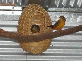 Tempat sarang yang digunakan saat berternak goldbreasted / orange-breasted waxbll