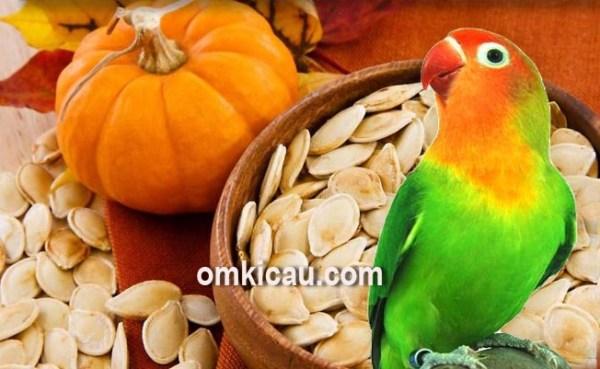 cara mengolah biji labu untuk pakan burung kicauan