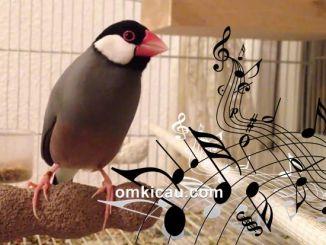 Burung gelatik jawa yang mempunyai suara kicauan yang unik
