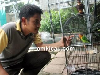 perawatan lovebird jantan