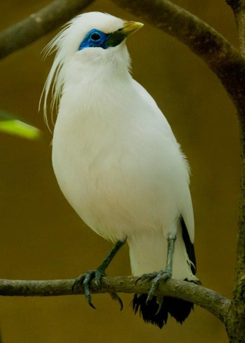 download gambar burung jalak bali