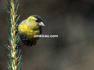 Burung eurasian siskin