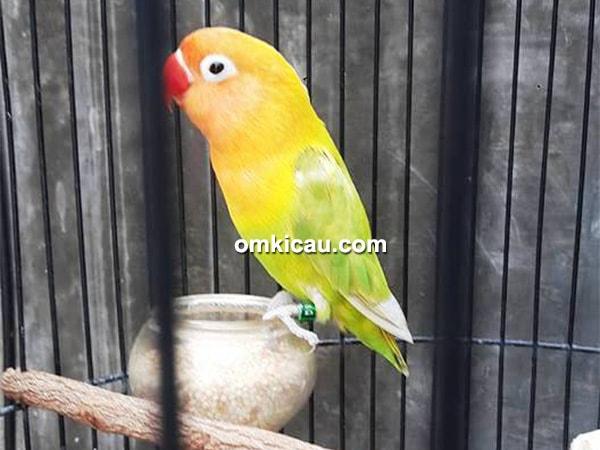 lovebird Minion