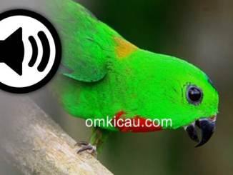 Suara dencingan serindit untuk masteran dan pemancing bunyi
