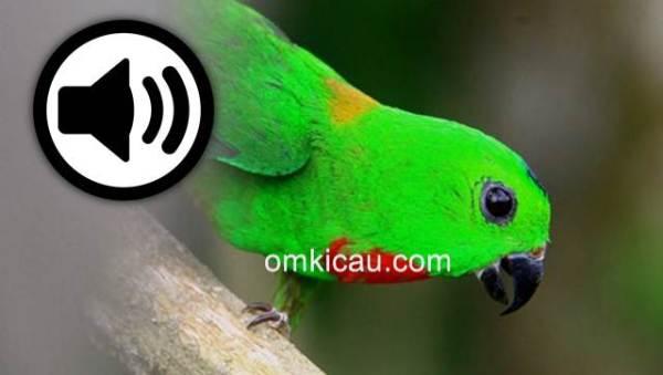 Suara burung serindit melayu