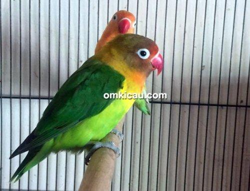 Lovebird Carlitos
