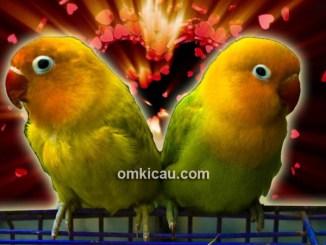 Solusi untuk indukan lovebird yang tak kunjung kawin