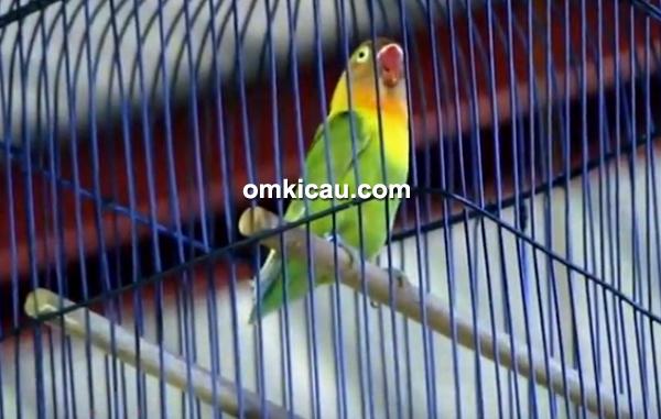 Lovebird Ewon