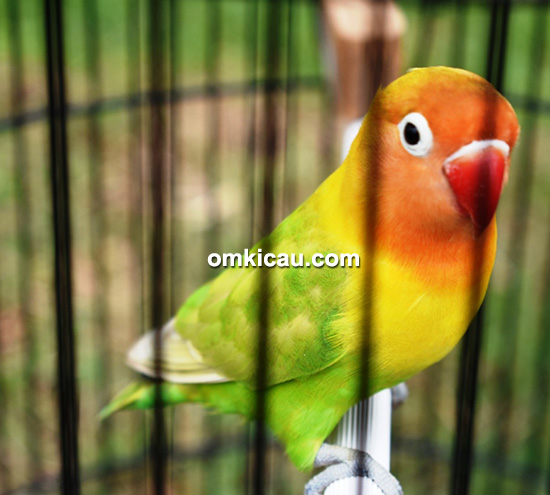 Lovebird Julia Perez