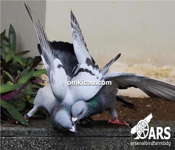 Arsenal Bird Farm-merpati pos