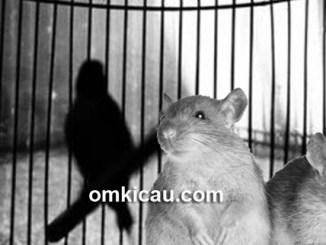 Solusi mencegah dan mengusir tikus