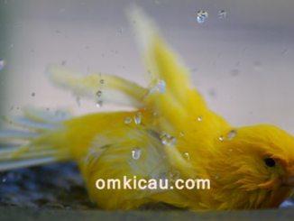 Tips menangani burung kenari yang ogah mandi