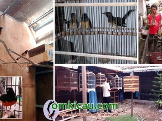 breeding murai batu MR Bird Farm