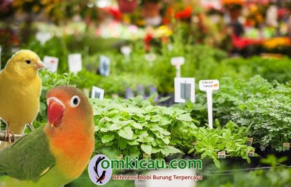 tanaman herbal untuk kenari dan lovebird