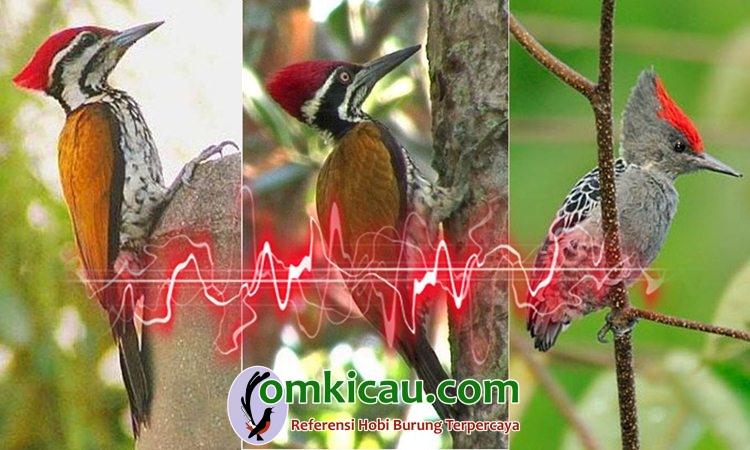 Download 800+  Gambar Burung Pelatuk Bawang Betina  Paling Keren Free