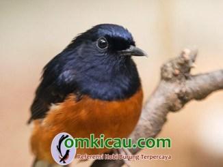 Tips memulihkan burung murai batu bersuara serak
