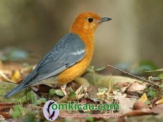 Perawatan mabung tak tuntas pada burung anis merah