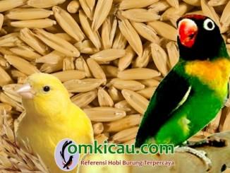 Manfaat biji oat / haver untuk kenari dan lovebird