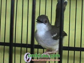 tips melatih mental ciblek muda agar jadi burung petarung