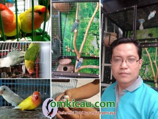 breeding lovebird AB Bird Farm Makassar