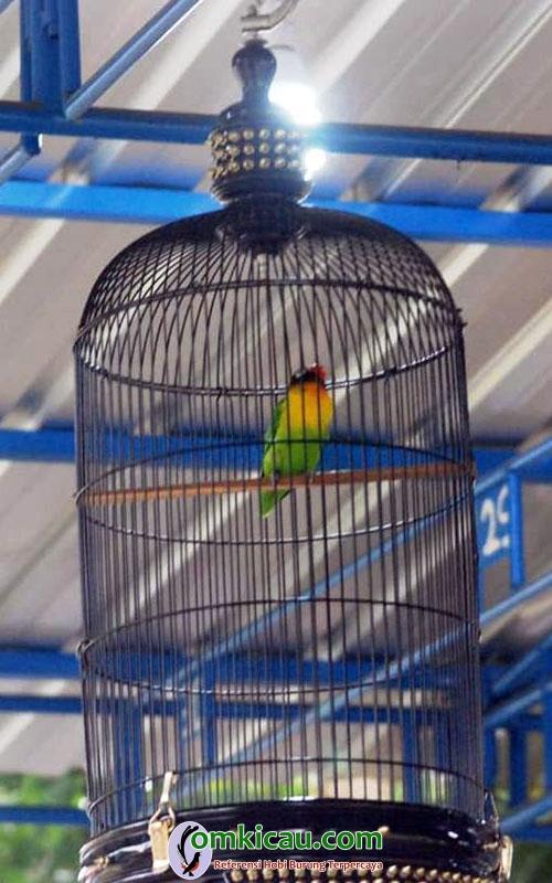 Lovebird Tegar