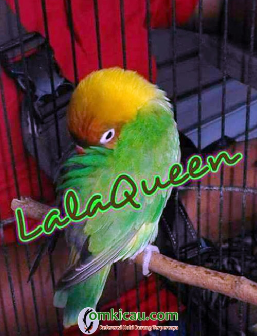 lovebird Lala Queen