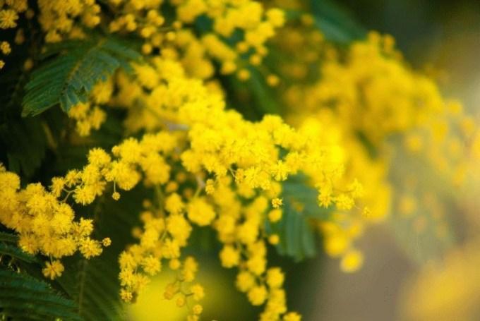 Winter Mimosa